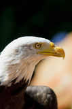 White head eagle Stock Image