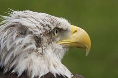 White head eagle Royalty Free Stock Images