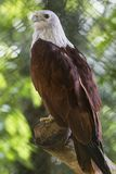 White head eagle Royalty Free Stock Photos