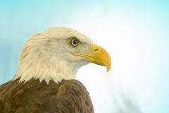 White-Head Eagle Royalty Free Stock Images