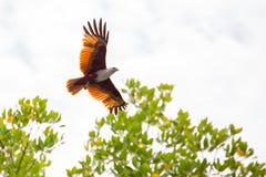 White head eagle flying Royalty Free Stock Photos
