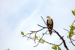 White head eagle sitting on a branch Royalty Free Stock Photos