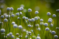 White head flowers dancing. Some mystery flowers in the paddy fields of Kumta, Karnataka, India stock images