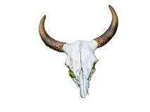 White head skull of asia cow isolate white background with clipp Stock Photography