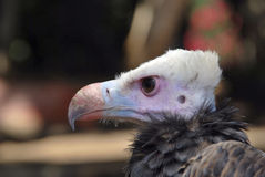 White head vulture Stock Photo
