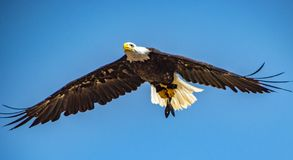 White-headed bald eagle flying on sky. White-headed bald eagle flying and watching on the sky after prey royalty free stock photography