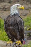 White-headed bald eagle standing close up. Haliaeetus leucocephalus or white-headed eagle, bald eagle standing close up on a human arm close up royalty free stock images