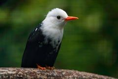 White-headed Black Bulbul, Hypsipetes leucocephalus white and black songbird. Bird sitting on tree branch, China. Rare bird in nat. White-headed Black Bulbul Stock Image