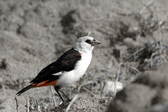 White-headed buffalo-weaver Stock Photography