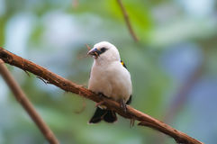 White Headed Buffalo Weaver Stock Photos
