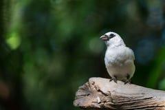 White-Headed Buffalo Weaver Bird royalty free stock image