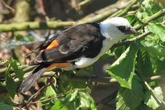 White-headed buffalo weaver. The white-headed buffalo weaver on the branch royalty free stock photos