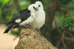 White-headed buffalo weaver. The couple of white-headed buffalo weavers stock photos