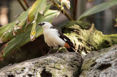 White-headed Buffalo weaver. Dinemellia dinemelli, bird is small with a white head and a bright orange belly stock photography