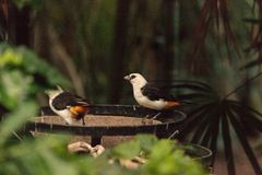 White-headed Buffalo weaver, Dinemellia dinemelli. Bird is small with a white head and a bright orange belly stock image