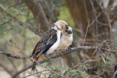 White-Headed Buffalo Weaver doing grooming Stock Photo
