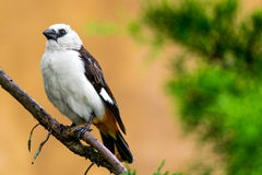 White headed Buffalo Weaver Royalty Free Stock Photography