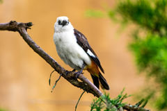 White headed Buffalo Weaver. The white-headed buffalo weaver or white-faced buffalo-weaver (Dinemellia dinemelli) is a species of passerine bird in the family royalty free stock photos