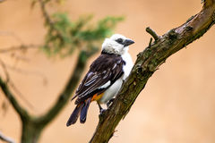 White headed Buffalo Weaver. The white-headed buffalo weaver or white-faced buffalo-weaver Dinemellia dinemelli is a species of passerine bird in the family stock photography
