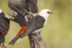 White-headed Buffalo Weaver perched on a branch Stock Photo