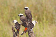 White-headed Buffalo Weaver perched on a branch Stock Photography