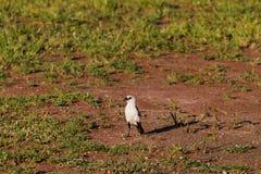 White-headed Buffalo-Weaver. Serengeti, Tanzania royalty free stock photos