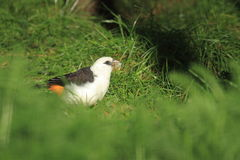 White headed buffalo weaver. Sitting on the grass stock images