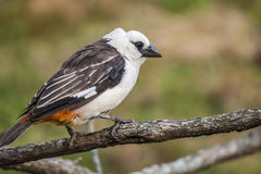 White-Headed Buffalo Weaver on tree limb. A White-Headed Buffalo Weaver pearched on a tree limb royalty free stock images