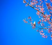 White-headed Bulbul bird on twig of sakura Stock Images