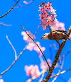 White-headed Bulbul bird on twig of sakura Royalty Free Stock Photo