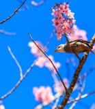 White-headed Bulbul bird on twig of sakura Royalty Free Stock Photo