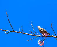 White-headed Bulbul bird on twig of sakura Stock Photo