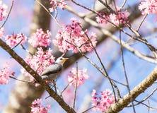 White-headed Bulbul bird on twig of sakura Royalty Free Stock Photos