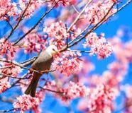 White-headed Bulbul and cherry blossom or sakura Stock Photos