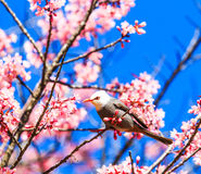 White-headed Bulbul and cherry blossom or sakura. The closeness between animal and nature royalty free stock photography