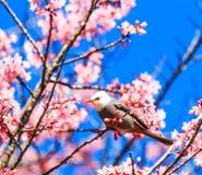 White-headed Bulbul and cherry blossom or sakura Royalty Free Stock Photography