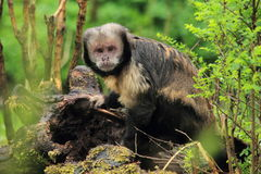 White-headed capuchin. The white-headed capuchin in the grassland stock photo