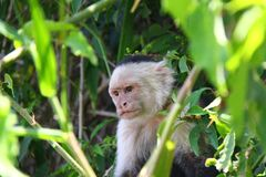 White-headed capuchin angry. The white-headed capuchin (Cebus capucinus), also known as the white-faced capuchin or white-throated capuchin found in Central stock photos