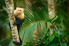 White-headed Capuchin, black monkey sitting on palm tree branch in the dark tropical forest. Wildlife of Costa Rica. Travel holida. Y in Central America stock images