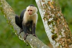 White-headed Capuchin, black monkey sitting on the tree branch in the dark tropic forest. Cebus capucinus in gree tropic vegetatio. White-headed Capuchin, black Royalty Free Stock Photos