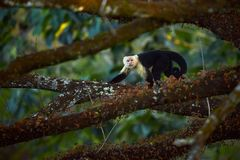 White-headed Capuchin, black monkey sitting on tree branch in the dark tropic forest. Wildlife Costa Rica royalty free stock photos
