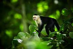 White-headed Capuchin, black monkey sitting on tree branch in the dark tropic forest. Wildlife Costa Rica. Monkey eating banana royalty free stock photography