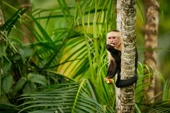 White-headed Capuchin, black monkey sitting on tree branch in th. E dark tropic forest. Wildlife Costa Rica. Monkey eating banana stock photography