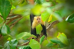White-headed Capuchin, black monkey sitting on tree branch in the dark tropical forest. Wildlife of Costa Rica. Travel holiday in. Central America. Tropic royalty free stock photography
