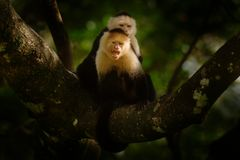 White-headed Capuchin, black monkey sitting on tree branch in the dark tropical forest. Wildlife of Costa Rica. Travel holiday in. Central America. Open muzzle stock image