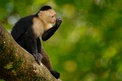 White-headed Capuchin, black monkey sitting on tree branch in the dark tropical forest. Wildlife of Costa Rica. Travel holiday in. Central America. Open muzzle royalty free stock photo