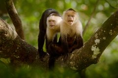 White-headed Capuchin, black monkey sitting on tree branch in the dark tropical forest. Wildlife of Costa Rica. Travel holiday in. Central America. Open muzzle royalty free stock image