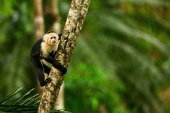 White-headed Capuchin, black monkey sitting on tree branch in th. E dark tropic forest. Wildlife Costa Rica stock photography