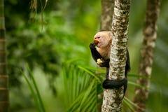 White-headed Capuchin, black monkey sitting on tree branch in th. E dark tropic forest. Wildlife Costa Rica. Monkey eating banana stock photo