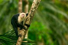 White-headed Capuchin, black monkey sitting on tree branch in th. E dark tropic forest. Wildlife Costa Rica stock images